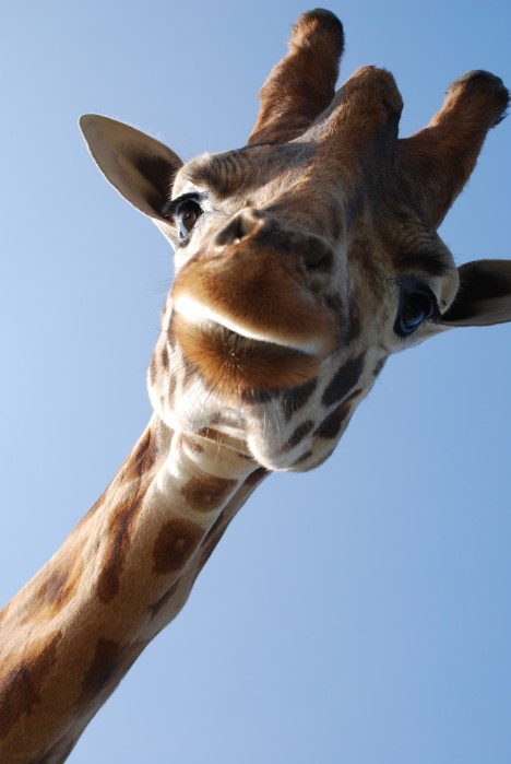 giraffe-close-up
