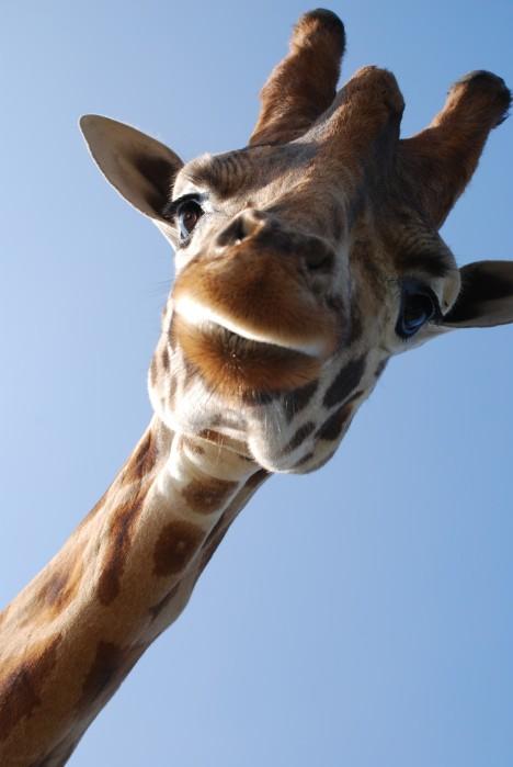 giraffe-close-up