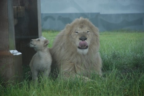 lion-licking-lips