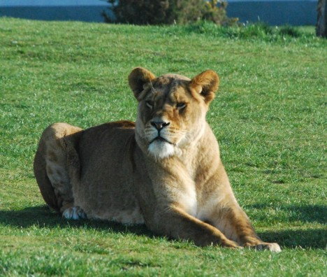 lioness-lay-down